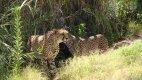 Gepardi v Oasis Parku.