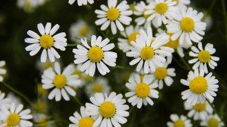 Heřmánek: Nejuniverzálnější a nejznámější bylina na světě