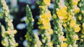 Divizna velkokvětá: Žluté květy léčí hemoroidy