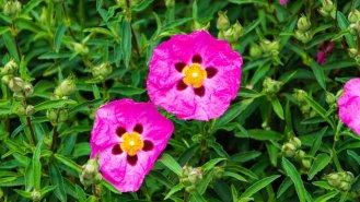 Skalní růže: Podpoří imunitu i zatočí sviry