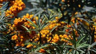 Rakytník: Rostlina budoucnosti