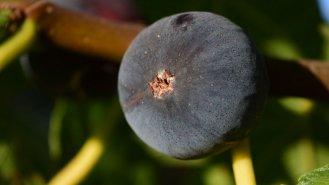 Fík: Delikatesa a přírodní lék v jednom