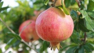 Granátové jablko: Sladký plod ze stromu poznání