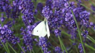 Levandule: Elegantní francouzská kráska odpuzuje blechy
