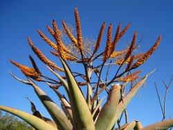 Aloe vera – první pomoc z květináče