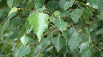Bříza bělokorá: Je nejvhodnější doba pro sběr listů