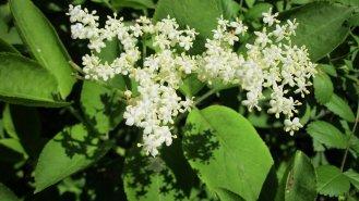 Bez černý: Jeho květy právě teď zdobí české zahrady