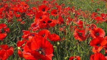 Vlčí mák: Červené květy zdobí louky i pole