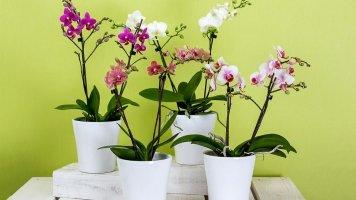 Orchidej těší po celý rok