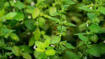Meduňka: Přírodní antidepresivum