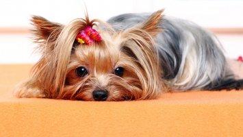 Jak zastavit zbytečné línání psů