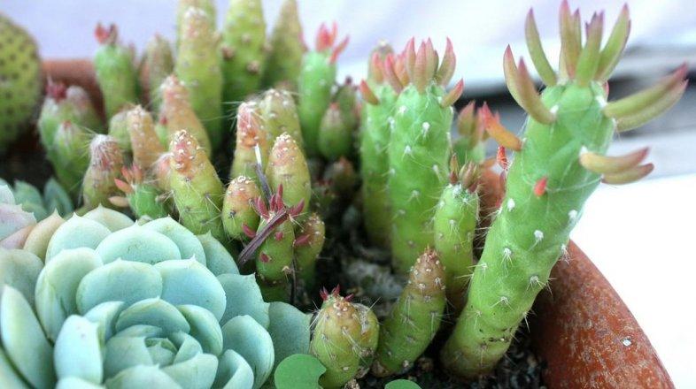 7 mýtů o kaktusech