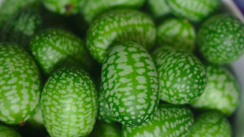 Mexická okurka: Plody jsou velké jen 2 až 3 centimetry