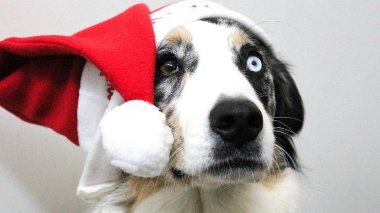 Pes: Jak přežít Vánoce a silvestr
