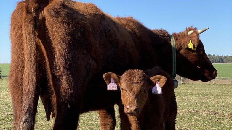 Víte, z jaké krávy jsou nejlepší steaky?