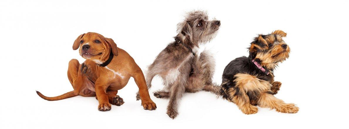 To jsou blechy psí!