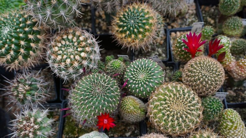 Jak správně přesazovat kaktusy a sukulenty