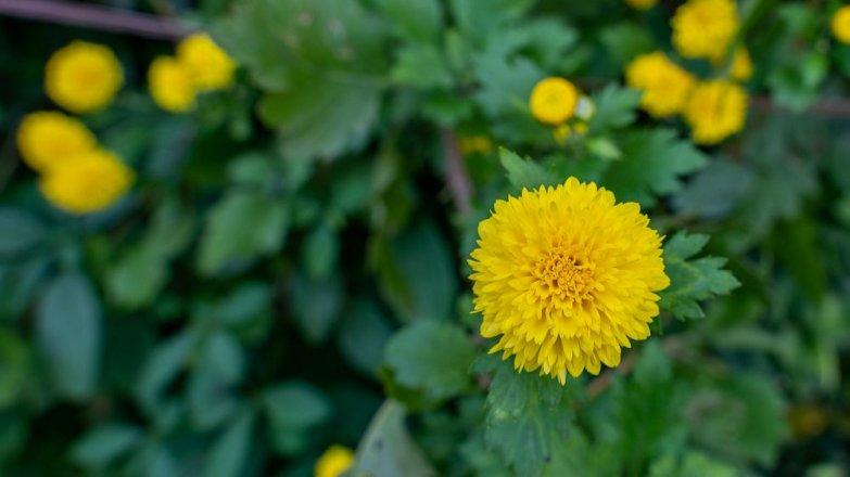 5 rad, co dělat s okrasnými květiny a keři na podzim