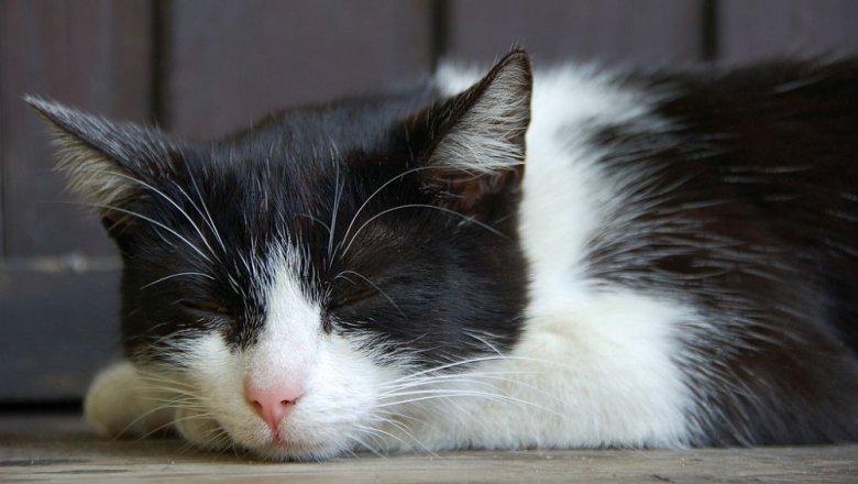 4 důvody, pro kočku bolí břicho