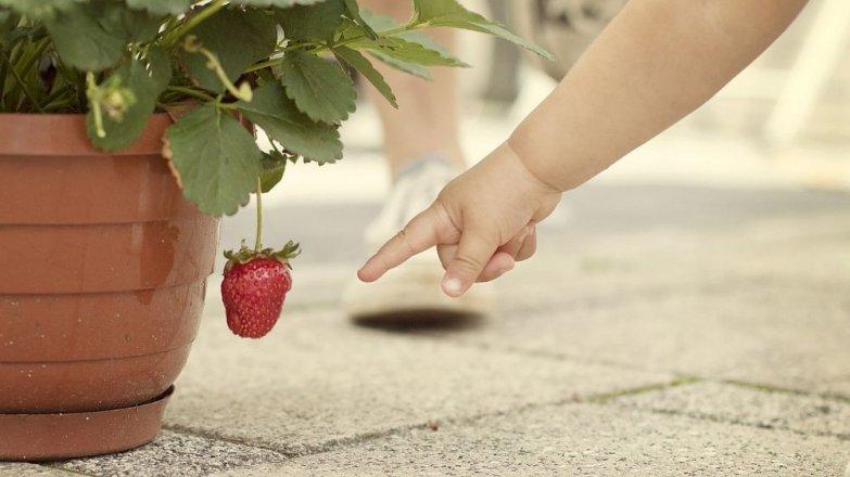 Vypěstujte si jahody na balkóně nebo na terase